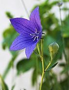 Japanesse Bellflower