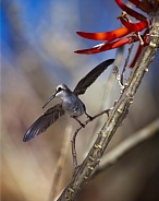 Hummingbird with Coral Bean