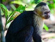 Friar Monk, Capuchin Monkey