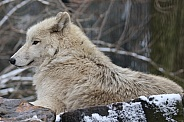 Hudsonbay wolf