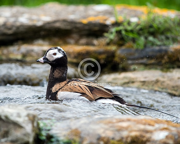 Long Tailed Duck