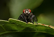 Fly with red eyes