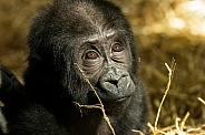 Baby Western Lowland Gorilla Close Up Looking Up