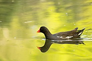 Male Moorhen on Pond