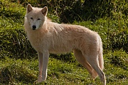 Arctic Wolf Standing Tall