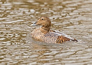 Female Eider Bathing