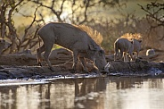 Warthogs at Dawn