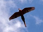 Macaw (Ara chloropterus)