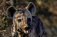 Hyena Puppies