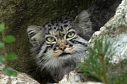 Pallas Cat Head Shot