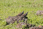 Dusky Turtle Doves