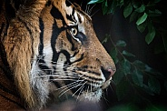 Sumatran tiger profile