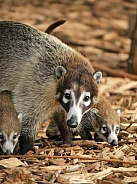 White Nose Coati