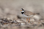The common ringed plover or ringed plover (Charadrius hiaticula)