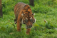 Sumatran Tiger Walking Towards Camera