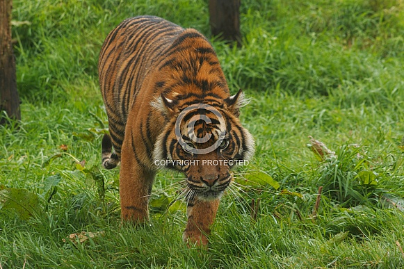 Sumatran Tiger Walking Towards Camera