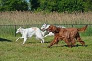Borzoi and Irish Setter Running