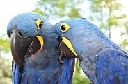 Bonding hyacinth macaw parrots