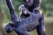 Colombian spider monkeys (Ateles fusciceps)