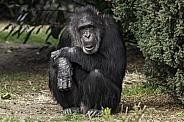 Chimpanzee Full Body Shot Sitting Upright