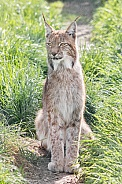 Northern Eurasian Lynx in Grass