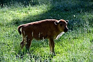 North American Plains Bison Calf