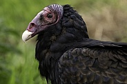Turkey Vulture Close Up