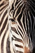 Grant zebra