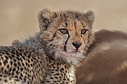 An inquisitive cheetah cub