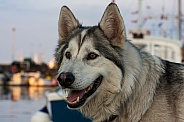 Northern Inuit Hybrid