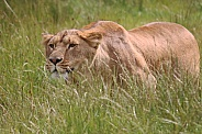 Stalking African lioness