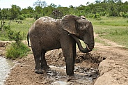 Bathing African Elephant