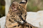 Young Serval Close Up Looking Down