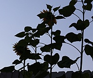 Silhouette of Sunflowers