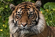 Sumatran Tiger Close Up Face Shot