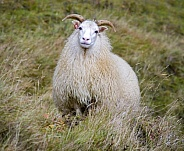 Icelandic Sheep - Iceland