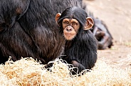 Baby Chimpanzee Sitting Looking At Camera