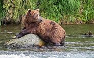 Grizzly Bear Resting From Fishing