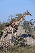 Giraffe near a termite mound - Botswana