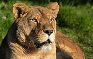 Female African Lion Lying Down In Sunshine