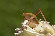 Katydid (Juvenile) on rose petals