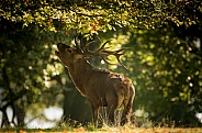 Red Deer Stag Bolving