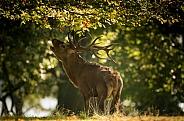 Red Deer Stag Bolving