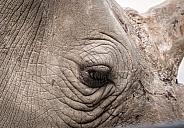 Indian Rhino Eye close-up