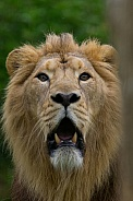 Male Asiatic Lion