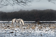Wild horses in the Netherlands
