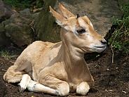 Baby Algazelle