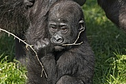 Baby Western Lowland Gorilla With A Stick