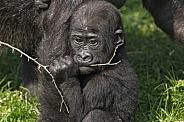 Baby Western Lowland Gorilla With A Stick