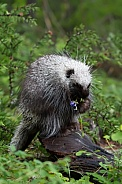 Juvenile Porcupine Eating Flowers